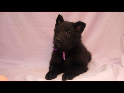 Belgian Groenendael puppy Della