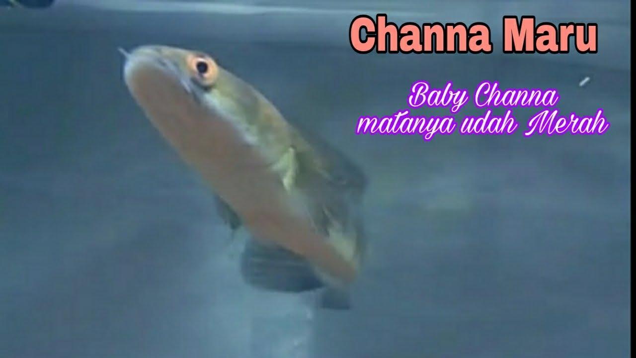Ikan Channa Maru Yellow Sentarum Youtube