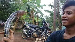 Nemu ular (LS)Lanang Sapi.langsung di testing