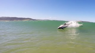 Incredible Moment Dolphin Rides The Waves