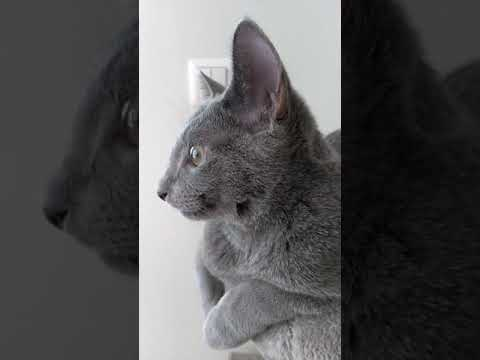 Russian Blue Cat, how sweet