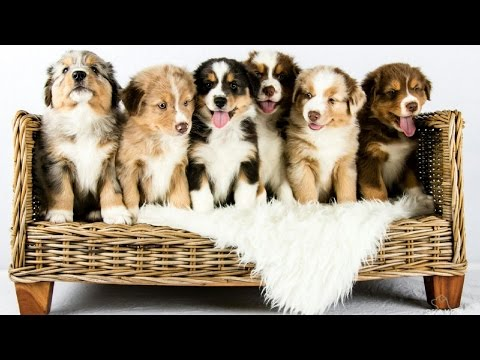 Australian Shepherd puppies growing | Time lapse