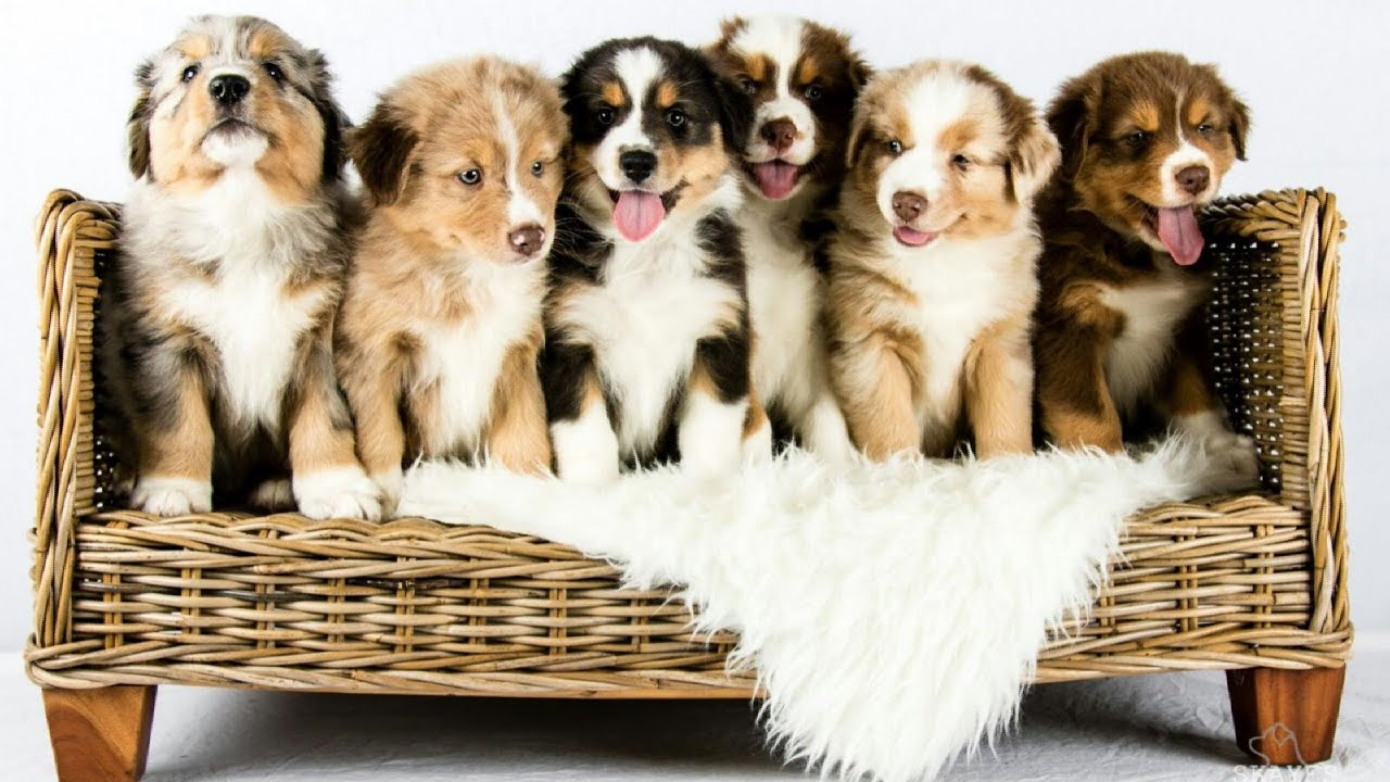 Australian Shepherd Puppies Growing