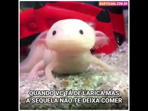 Axolote sequelado