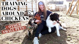 TRAIN DOGS AROUND CHICKENS, CATS, & SMALL PETS | Start At ANY age! | How We Trained Our Rescue Dogs