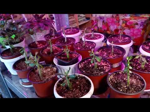 Эсхинантус,  адениумы малыши в феврале 2018. # домашние цветы# эсхинантус # пеларгонии # адениумы