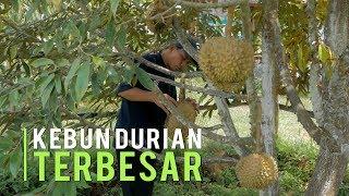 Kebun Durian Terbesar Hasilkan Buah Melimpah Ukuran Monster