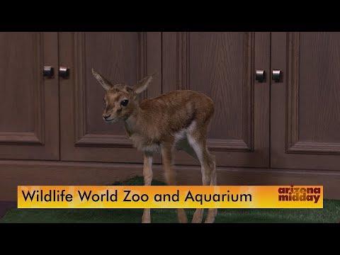 Wildlife World Zoo's 'Precious' Baby Gazelle Visits