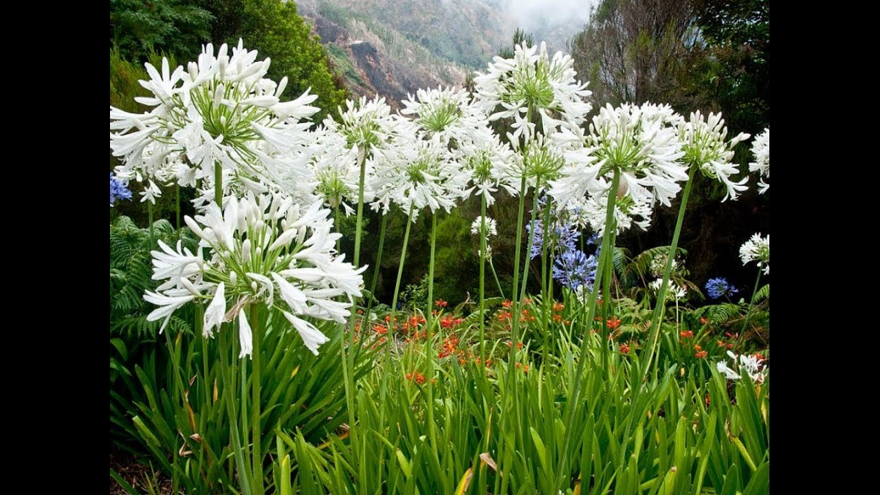 Amazing And Most Beautiful Agapanthus Lily Of The Nile African