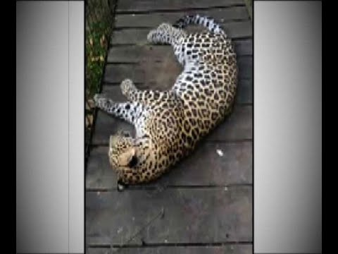 Leopard caught in net-trap laid by tea-workers at Malbazar
