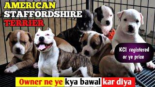 Ye kya bawal hai || American Staffordshire terrier KCI REGISTERED Puppies or price sirf etana