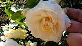Экзотический букет из гвоздик, трахелиумов, фрезий, вероники купить в спб от салона цветов «цветыоптрозница». Оформить доставку можно на.