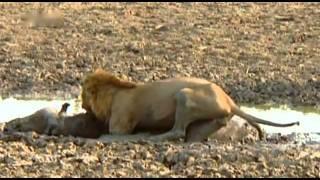Killerinstinkt  der Löwen Teil 3