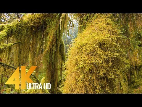4K Hoh Rain Forest. Winter & Summer - Olympic National Park - Short Preview