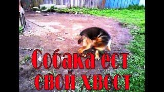 Собака ест свой хвост. Овчарка Гайд.
