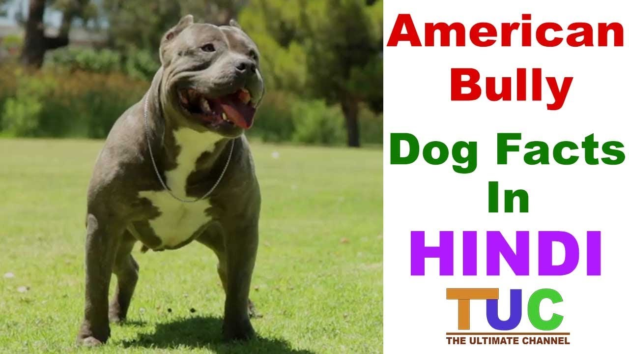 American Bully Dog Facts In Hindi Popular Dogs Dogs And Facts
