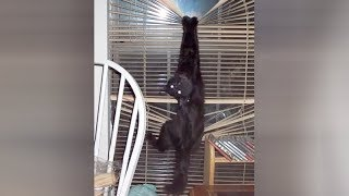 BLACK CATS are so HARDCORE - It's TIME FOR YOU to LAUGH!