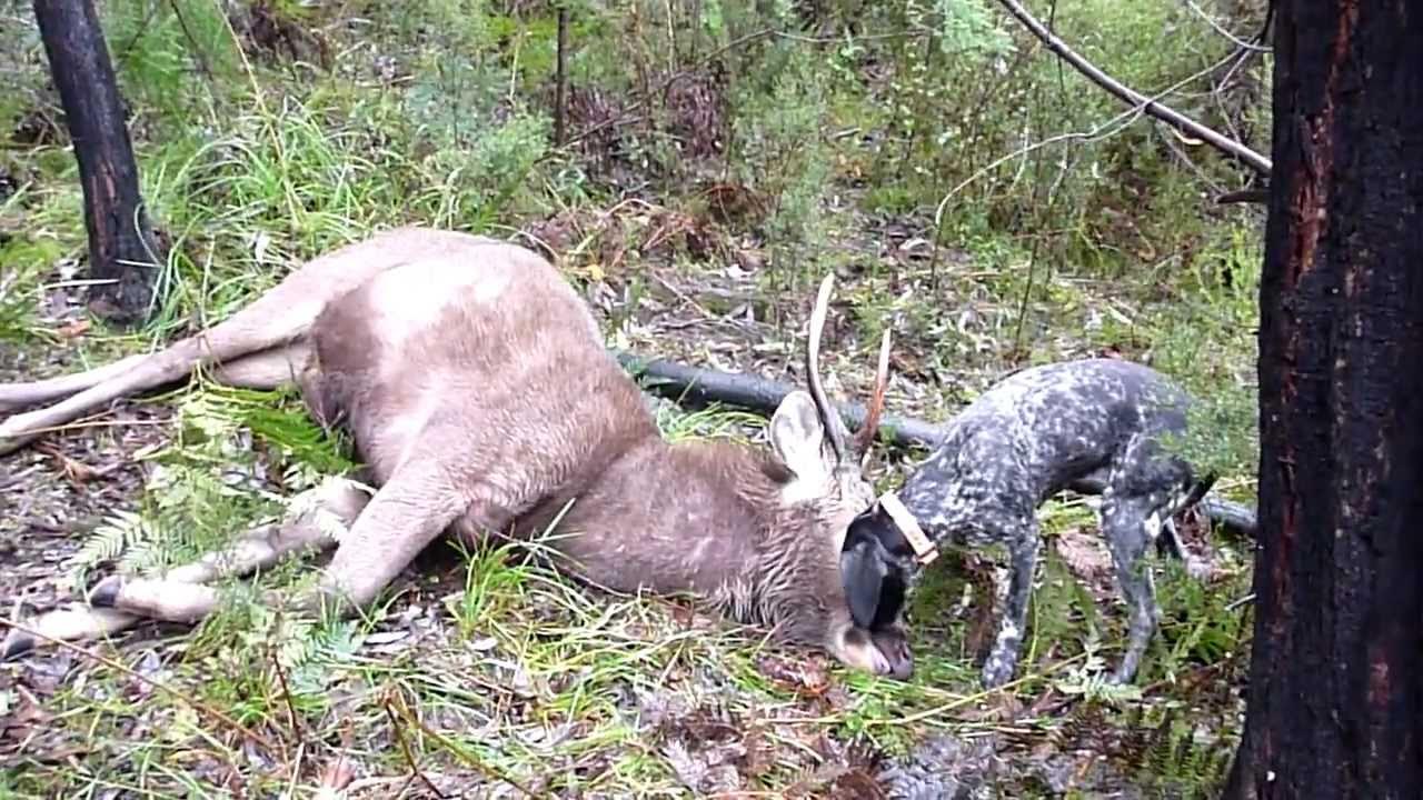 Deer Deutsch