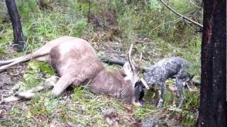 Sambar Deer Backpack Hunt With My German Short Haired Pointer Pt 2