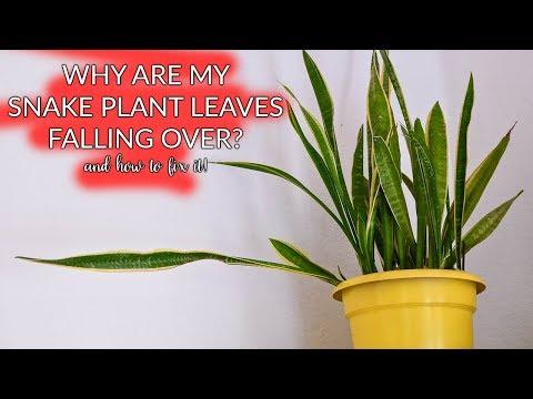 Snake Plant Leaves Falling Over: How To Prune & Propagate / Joy Us garden