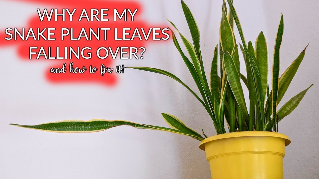 Snake Plant Leaves Falling Over: How To Prune & Propagate / Joy Us garden