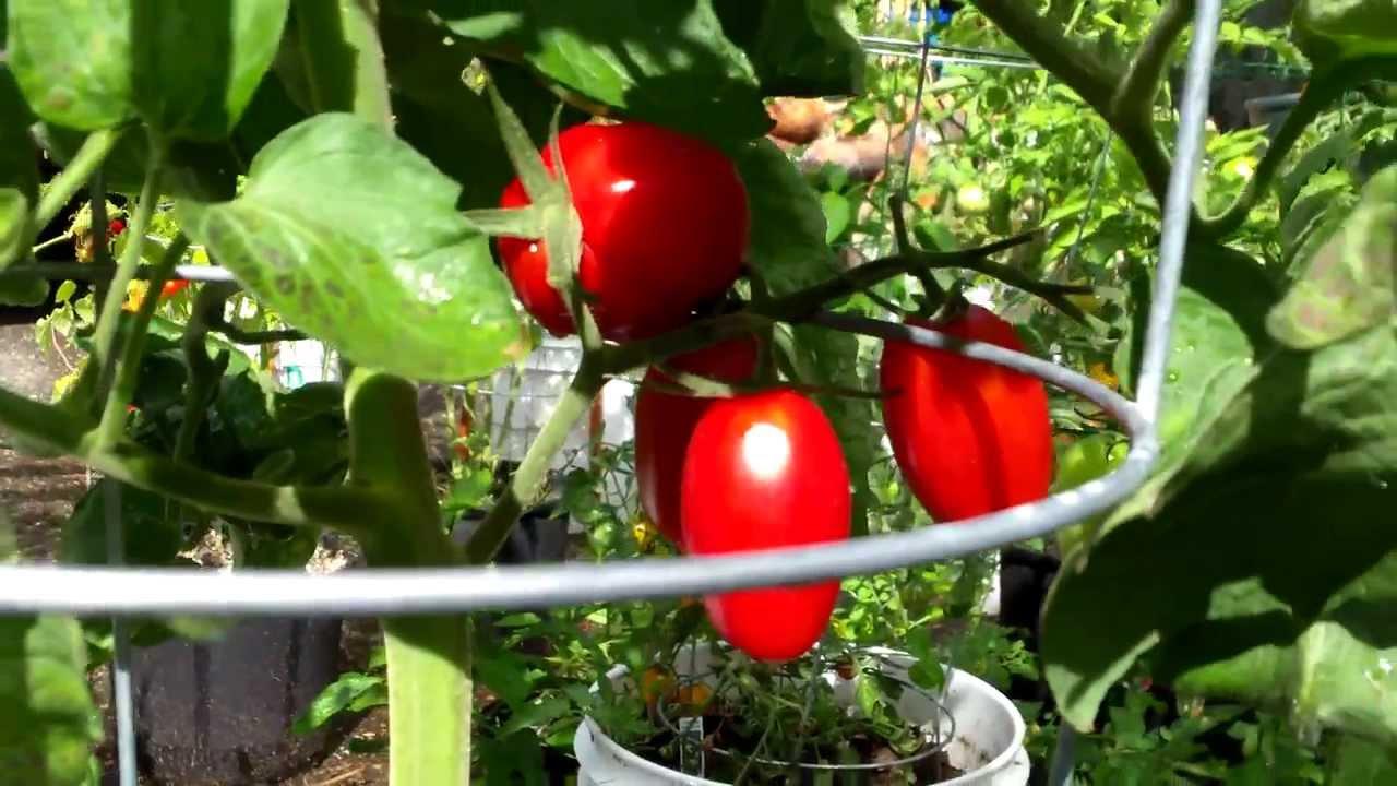 Plantprofile Juliet Hybrid Tomato