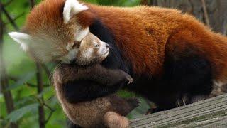 panda vermelho filhote | panda red