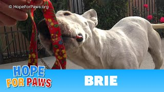 A microchip revealed that a Bull Terrier traveled 300 miles, but no one knows how!