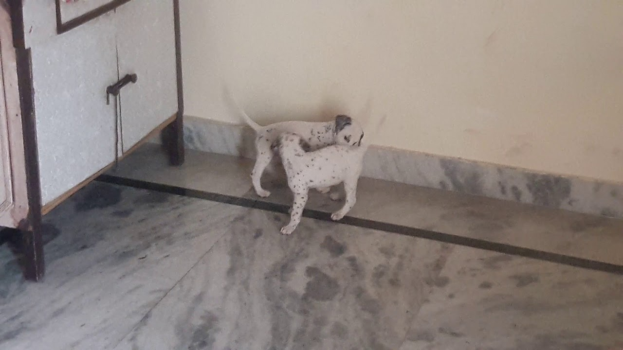 Top Quality Dalmatian Male Puppy For Sale Price 15000