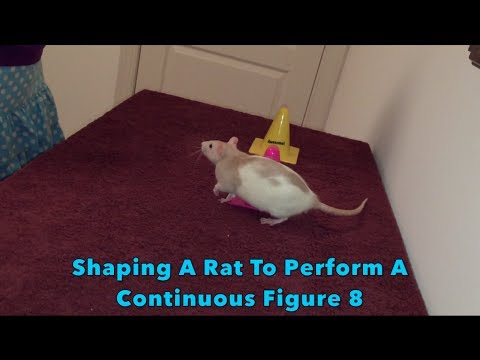 Clicker-Training: Shaping A Rat To Perform A Continuous Figure 8