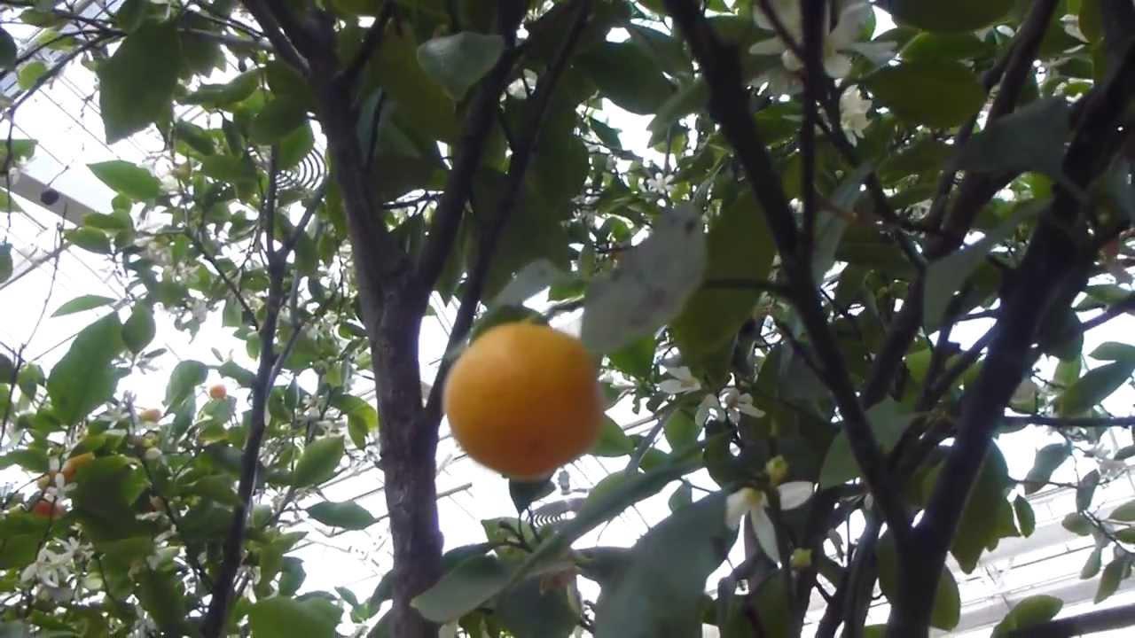 wisley garden 2014 calmondin citrus mitis appels nutr gar sk laplanta youtube. Black Bedroom Furniture Sets. Home Design Ideas