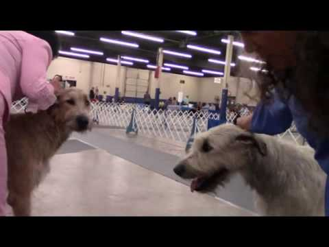 08-13-2016 Arkansas Kennel Club, Little Rock, AR-Irish Wolfhounds
