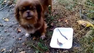 известный эксперт-диетолог собака рекомендует: жареная мойва (осетрина) лучше, чем рыба сырая