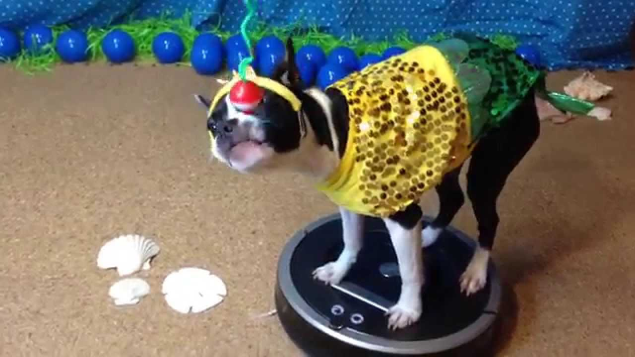 Fishing for a Mermaid - Dog Riding Roomba in Costume & Fishing for a Mermaid - Dog Riding Roomba in Costume - YouTube