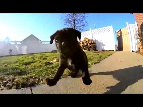 Black Pug Puppy Loves Camera