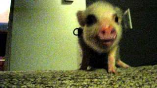 Hamlet the Mini Pig - Has a Conversation
