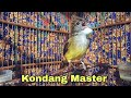 Cucak Jenggot Gacor Masteran Terlaris  Mp3 - Mp4 Download