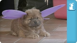 Chow Puppy is a Pretty Butterfly - Puppy Love
