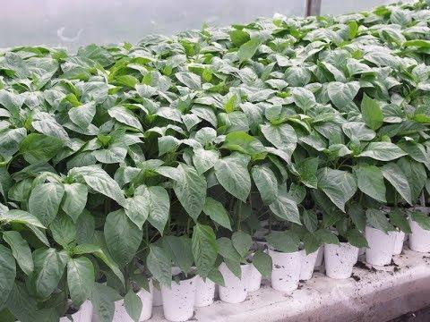 СРОЧНО СПАСАЕМ РАССАДУ ПЕРЦА ОТ ПЕРЕРАСТАНИЯ!!!   выращивание   формировка   рассадой   рассады   рассада   огород   овощей   перца   перец   уход