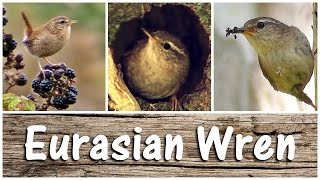 Wren Birds Singing, Chirping, Feeding & Nest Building