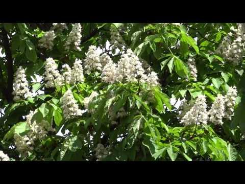 цветение Каштана ( 04.05.2014 )