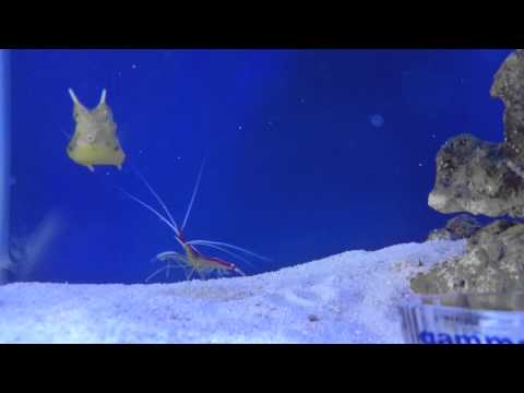 Shrimp Trying To Clean Longhorn Cowfish!
