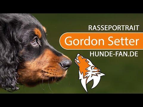 Gordon Setter [2018] Rasse, Aussehen & Charakter