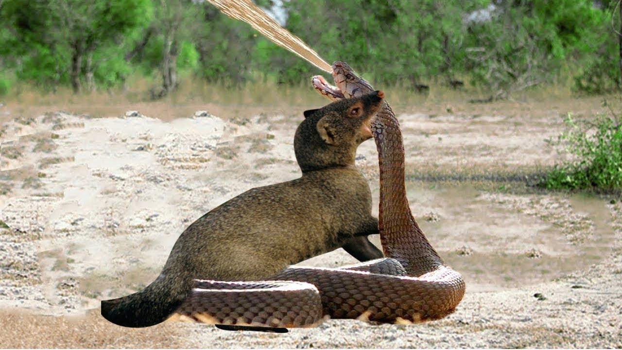 Mongoose Vs Cobra Big Battle Wild Animal Fights Youtube