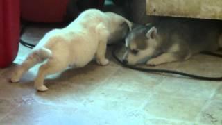 Shiba inu / mini husky mix puppies 6 weeks
