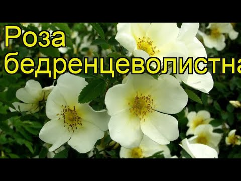 Роза бедренцеволистная. Краткий обзор, описание характеристик rose pimpinellifolia