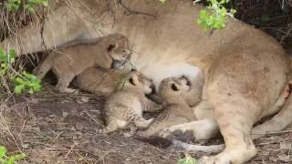 Tiny newborn lion cubs, Serengeti - African Family Safaris