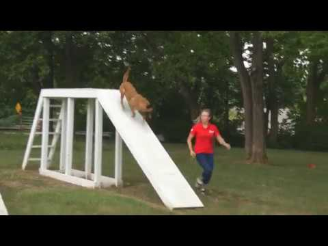 Agility Course Training 'Ken' 2 Yr Malinois For Sale by Protection Dog Sales