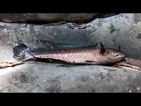 Catch big fish in water flow & grilled for food - Cook big fish in banana tree eating delicious #41