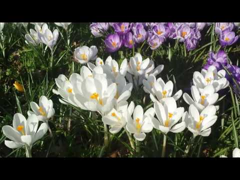 210 #Крокусы.Весна. Сплошное наслаждение.